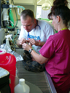 Veterinary staff examine a cat at a ASPCA Mobile Spay/Neuter Clinic. (Photo by Meredith Weiss)